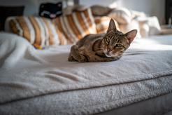 Jaka jest cena kota Ashera? Zobacz, ile kosztuje hybryda kota z serwalem