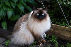 Kot himalajski – informacje, usposobienie, zdjęcia, cechy szczególne