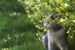 Czy kot powinien wychodzić z domu? Oto fakty i mity o kocich spacerach