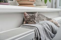 Szukasz spokojnego kota do towarzystwa? Oto 5 najspokojniejszych ras