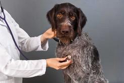 Kaszel kenelowy - przyczyny, objawy, leczenie, powikłania
