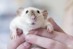 Szczur syjamski i szczur husky - opis, zdjęcia, ceny, porady właścicieli