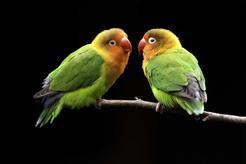 Jaka jest cena papużek nierozłączek? Sprawdź, ile kosztują wyjątkowe ptaki