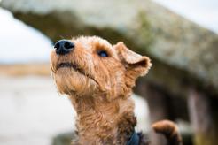 Hodowla teriera walijskiego - zobacz, gdzie kupić rasowego psa