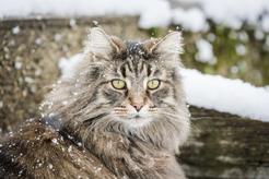 Leśny kot norweski – opis, charakter, żywienie, pielęgnacja