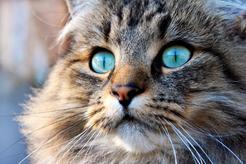 Ceny kotów norweskich – ile kosztuje kot z rodowodem lub bez?