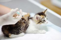 Szczepienie kota – terminy, rodzaje, ceny, skuteczność