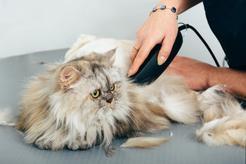 Trymer dla kota – rodzaje, producenci, cena, porady