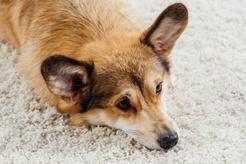 Jakie są najczęstsze przyczyny dysplazji biodra u psa?