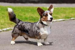 Popularne rasy psów pasterskich - opis, opinie, charakter