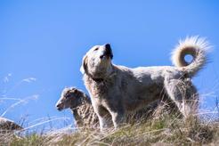 Akbash dog - opis, charakter, pochodzenie, wymagania, opinie