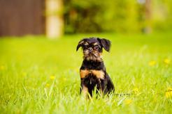 Jaka jest cena gryfonika belgijskiego? Zobacz, ile kosztuje rasowy pies