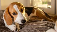 Czy psu wolno podawać kości do jedzenia? Wyjaśniamy