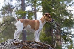 Duńsko-szwedzki pies wiejski - historia rasy, opis, zdjęcia