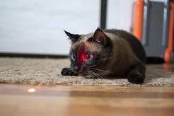 Laser dla kota – rodzaje, producenci, zastosowanie, opinie