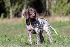 Pies z długimi uszami. Czy wiesz, jaka to rasa?