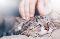 Czemu kot mruczy? Zobacz, co twój kot chce ci przekazać przez mruczenie