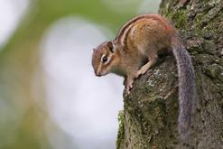 Czy wiewiórkę można hodować w domu? Poznaj burunduka