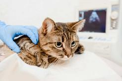 Niewydolność nerek u kota - objawy, leczenie, rokowania, porady