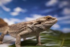 Agama brodata – domowy smok z Australii