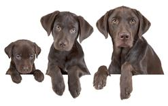 Do jakiego wieku rośnie pies? Zobacz, kiedy szczeniak staje się dorosły