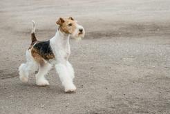 Fox terrier – informacje, charakter, wymagania, porady