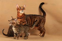 Kot jak tygrys – czy wiecie, co to za rasa? Wyjaśniamy