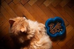Dlaczego kot nie chce jeść? Oto 8 najczęstszych powodów braku apetytu