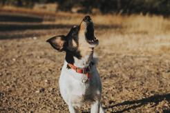 Dlaczego pies wyje? Oto 8 najczęstszych powodów wycia