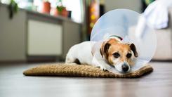 Kołnierz dla psa – opis, zastosowanie, modele, ceny