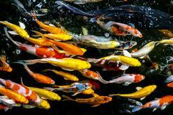 Jaka jest cena karpia koi? Zobacz, ile kosztuje popularna ryba do oczka wodnego