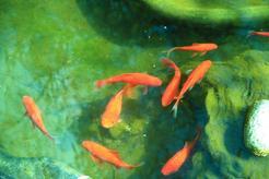Najpopularniejsze ryby do oczka wodnego. Przedstawiamy TOP 3 gatunki