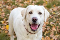 Labrador biszkoptowy - informacje, wymagania, tresura, choroby