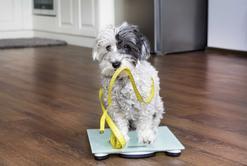 Jak zapobiegać i leczyć otyłość u psa?