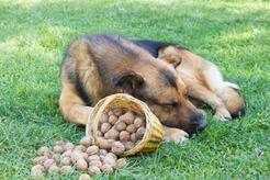 Czy pies może jeść orzechy? Wyjaśniamy krok po kroku