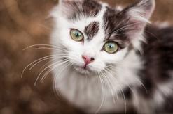 Trzecia powieka u kota - przyczyny, objawy, opis, leczenie