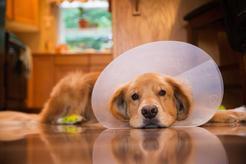 Prostata u psa - choroby, objawy, leczenie, rokowania