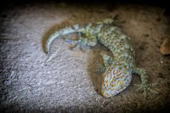 Toke (Gekko gecko) - informacje, wymagania, hodowla, cena
