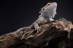 Egzotyczna jaszczurka - gatunki, opis, wymagania, porady