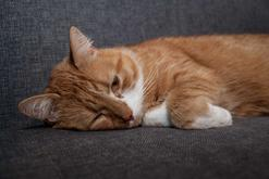 Bąblowica u kota - oznaki, leczenie, zapobieganie, przenoszenie na człowieka