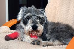 Uszkodzenie więzadeł krzyżowych stawu kolanowego u psa i kota - objawy, leczenie