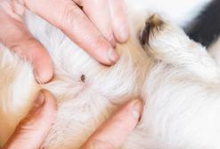 Borelioza u kota - objawy, rozpoznanie, leczenie, rokowania