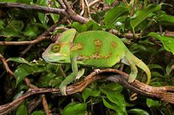 Kameleon jemeński - opis, występowanie, hodowla domowa, porady