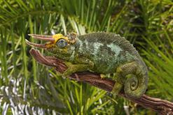 Kameleon Jacksona - informacje, hodowla, wymagania, porady