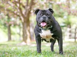 Staffik (Staffordshire Bull Terrier) - opis, charakter, pielęgnacja, porady