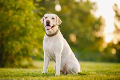 Jaka jest prawidłowa waga labradora? Sprawdź, ile powinien ważyć twój pies