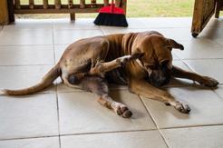 Dlaczego pies się drapie? Oto najczęstsze przyczyny nadmiernego drapania