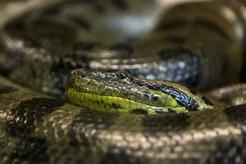 Anakonda zielona - opis, występowanie, rozmiary, ciekawostki