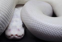 Pyton królewski biały - charakterystyka, występowanie, hodowla, ciekawostki