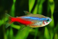 Ryby neonki - odmiany, opis, zdjęcia, hodowla, wymagania, porady